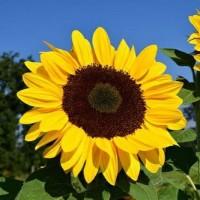 بافت  آفتاب گردان