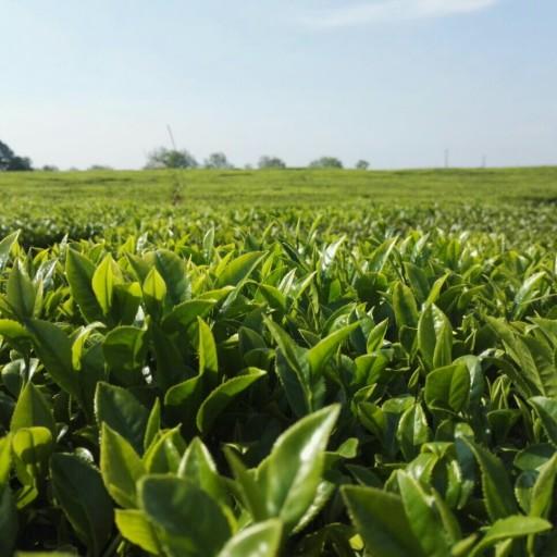 چای ممتاز بهاره 99 (500 گرم)- باسلام