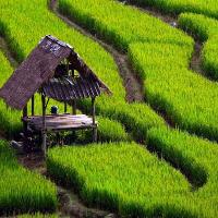 برنج طارم هاشمی دوستان