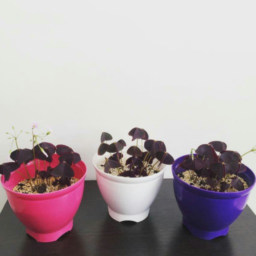 گیاه اگزالیس بنفش - باسلام