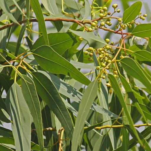 برگ اکالیپتوس(1000گرم)- باسلام