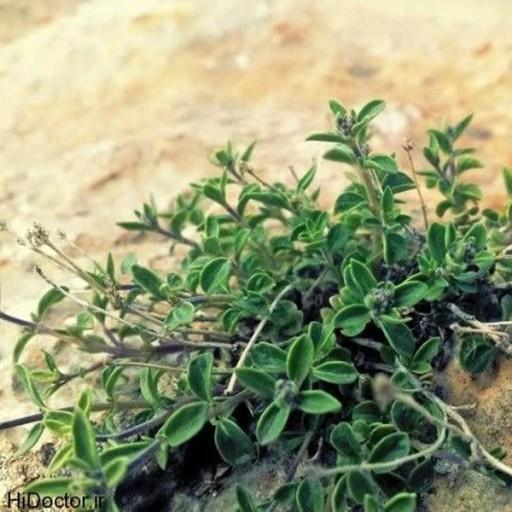 عسل آویشن طبیعی برکت- باسلام