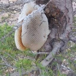 عسل وحشی شاخه ای(عسل فروشی مادر )