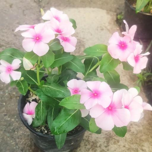 گل پریوش- باسلام